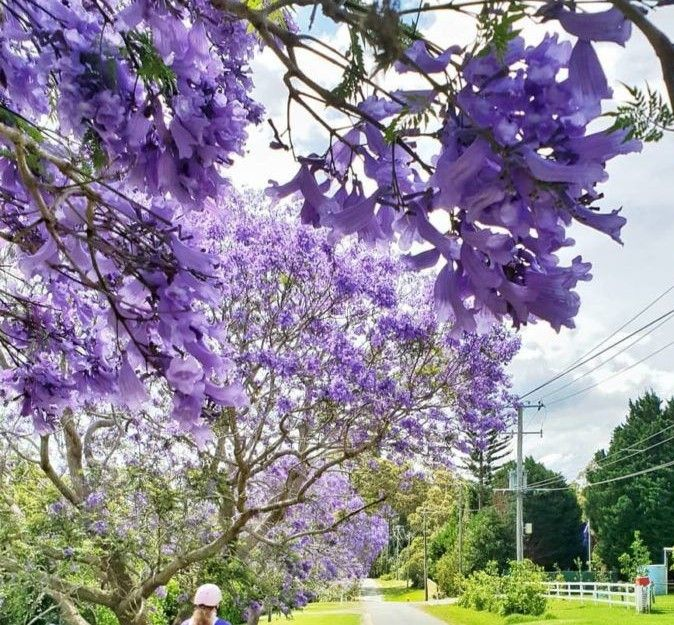 Musim Semi adalah waktu dimana pohon Jacaranda bermekaran dan mewarnai kota Brisbane dan Gold Coast sampai ke penjuru negara ini menjadi Ungu yang juga familiar disebut dengan musim Jacaranda.