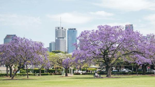 Selain The University of Queensland, kawasan New Farm Park pun jadi salah satu lokasi yang harus dikunjungi jika ingin menikmati musim Jacaranda. Istimewa/Dok. Tourism and Events Queensland.