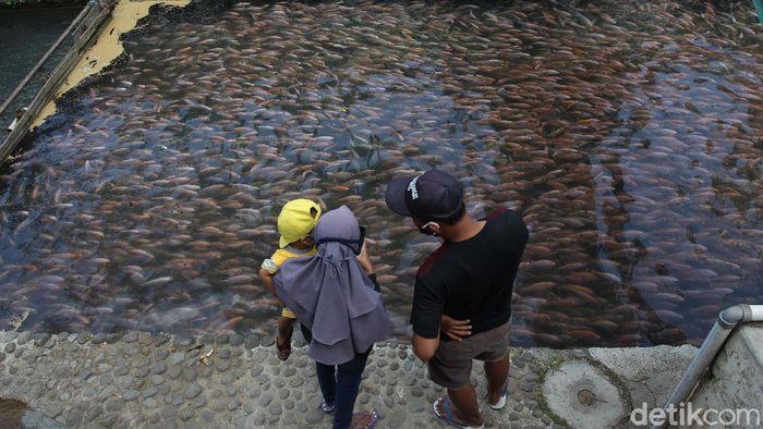 Restoran dan tempat wisata Water Gong di Klaten, Jawa Tengah, tengah viral. Ada 1 ton bibit ikan nila di sungai sepanjang 100 meter yang menarik perhatian pengunjung.