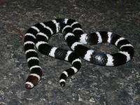fotoinet hewan hitam putih