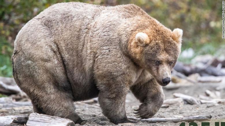 Holly beruang tergemuk 2019