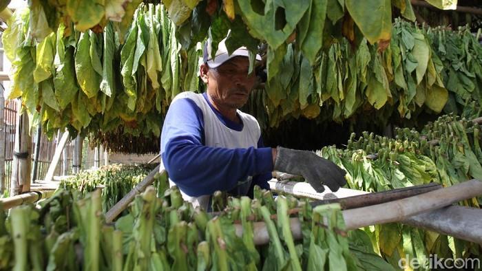 Musim panen tembakau tahun ini bisa saja tak berpihak pada petani. Pasalnya, harga anjlok membayangi ditengah resisi, petani pun siap merugi.