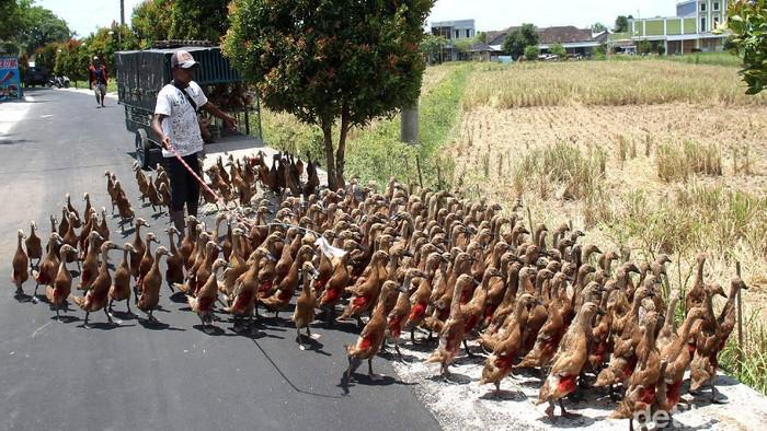 Beternak bebek secara tradisional kerap dilakukan warga di berbagai daerah Indonesia. Beternak bebek secara tradisional itu dianggap mampu tekan biaya produksi.