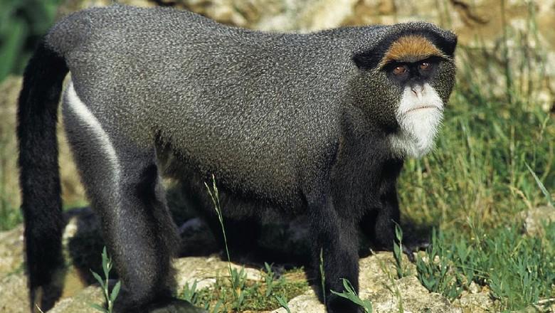 Monyet emas Uganda