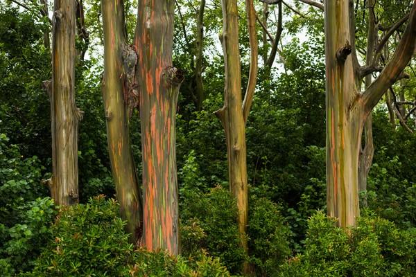 Warna pelangi yang diciptakan oleh pohon ini akibat kulit pada kayu pohon yang terkelupas lalu terlihatlah warna-warni yang cantik dan beragam menyerupai pelangi.