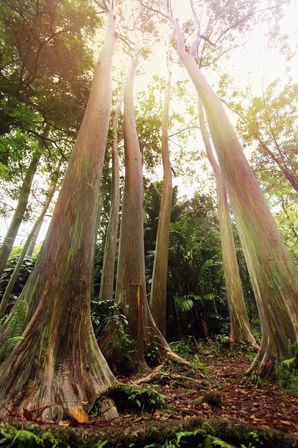 Di Hawaii, kamu bisa melihatnya di Pantai Maui. Kamu akan dimanjakan dengan melihat banyaknya pohon Rainbow Eucalyptus terbentang di sepanjang jalan Hana Highway.