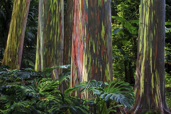 Pohon warna pelangi ini bernama Rainbow Eucalyptus.