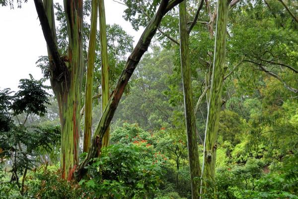 Tak hanya cantik warnanya, pohon Rainbow Eucalyptus juga memiliki bau yang harum. Di Indonesia juga ada lho pohon seperti ini.