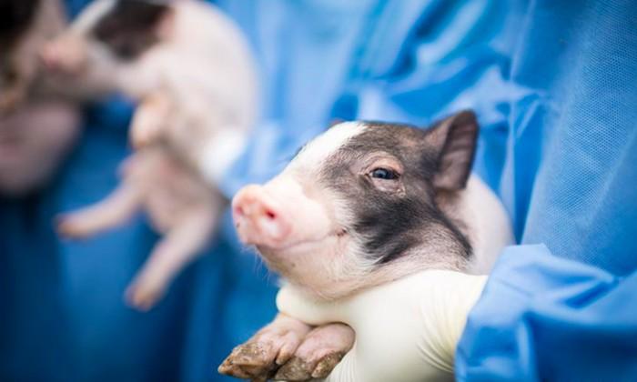 babi rekayasa genetik