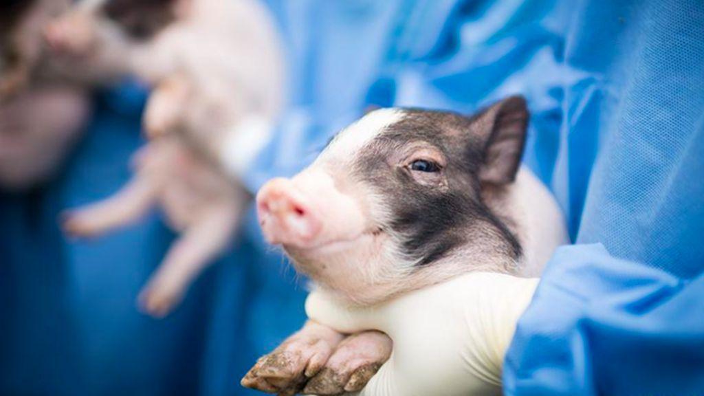 China Laporkan Penularan Virus Corona dari Kepala Babi Impor