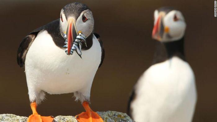 Konservasi burung puffin