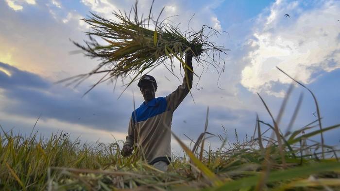 Petani memanen padi miliknya di Ciletuh, Pelabuhan Ratu, Sukabumi, Jawa Barat, Rabu (30/9/2020). Pemerintah menyatakan bahwa stok pangan Indonesia dinilai aman hingga akhir tahun 2020 . ANTARA FOTO/Muhammad Adimaja/foc.