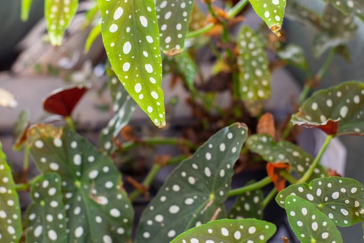 Begonia Maculata ,Polka Dot Begonia Background, retro modern houseplant close-up