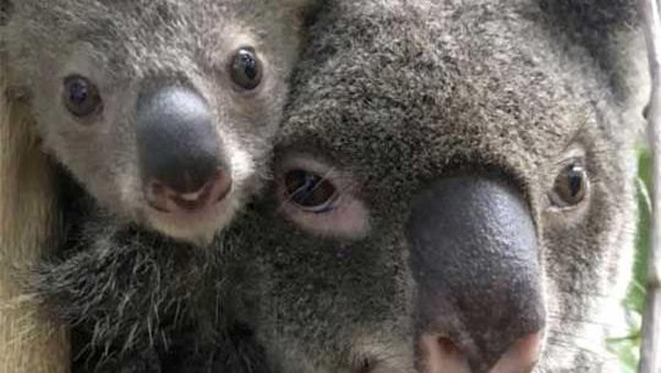 Tak ketinggalan, jumlah koala di kebun binatang ini pun bertambah. (AFP)
