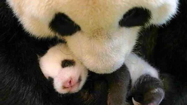 Namun kelahiran yang paling menarik perhatian adalah anak peremupuan dari panda raksasa. Namanya Yuan Bao. (AFP)