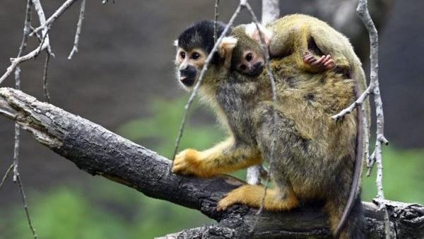 Ada juga penguin marmoset dan monyet tupai.(AFP)