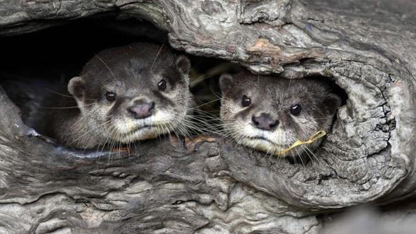 Hewan hewan yang bertambah di antaranya ada berang-berang Eurasia yang menggemaskan. (AFP)