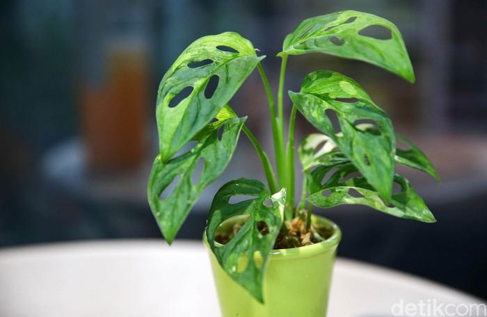 Tanaman hias janda bolong variegata menghebohkan Tanah Air. Tanaman hias itu harganya tembus hingga puluhan juta rupiah.