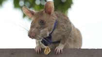 Gemas! Tikus Pahlawan Diberi Medali