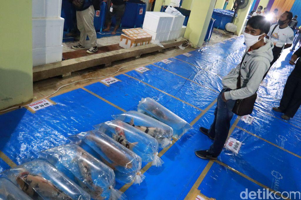 Melihat Kontes Ikan Koi di Bandung