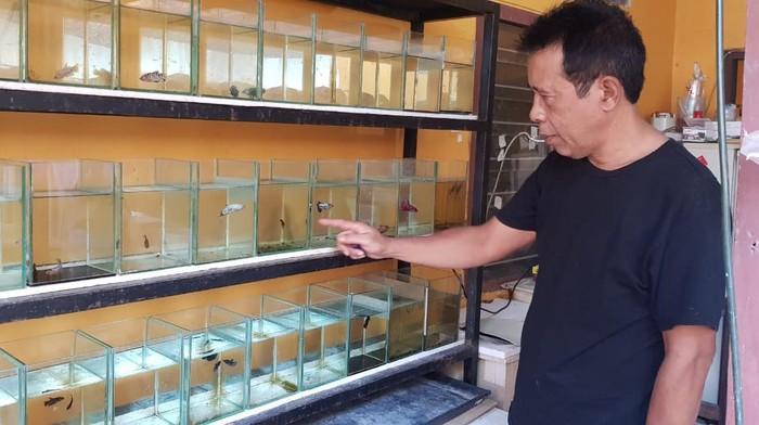 Peluang usaha bisnis ikan cupang di tengah pandemi COVID-19