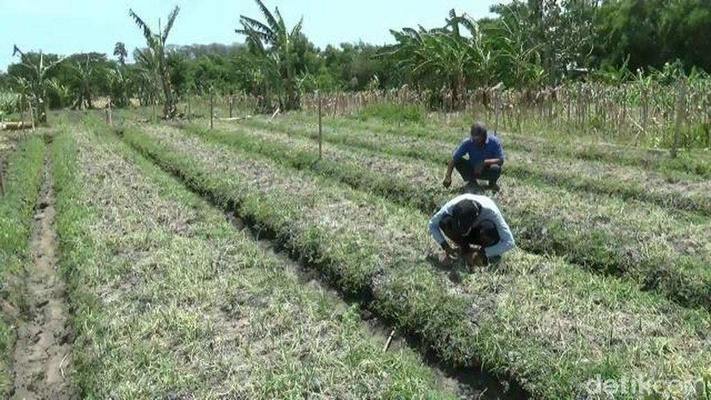 Ulat dan Virus Gagalkan Panen, Harga Bawang Merah Melonjak