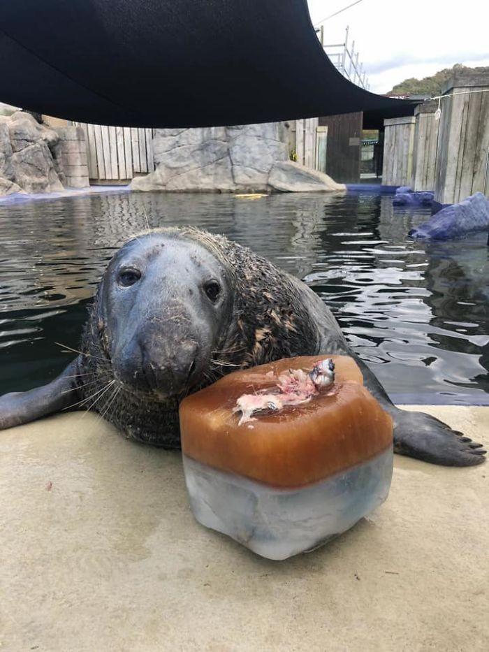Gemas! Anjing Laut ini Rayakan Ultah ke-31 dengan Kue Ikan Mentah
