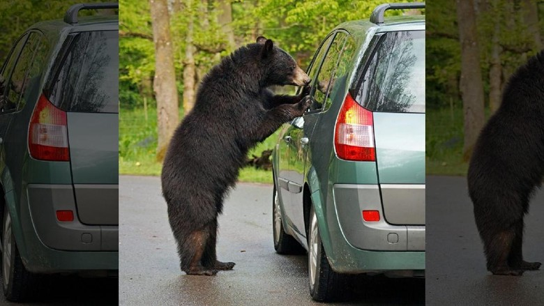 Ilustrasi beruang intip mobil