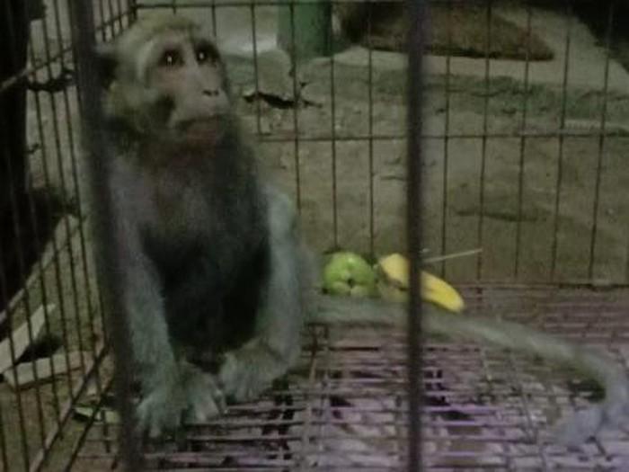 monyet pencuri