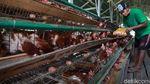Peternak Ayam Petelur Bertahan di Tengah Pandemi Corona