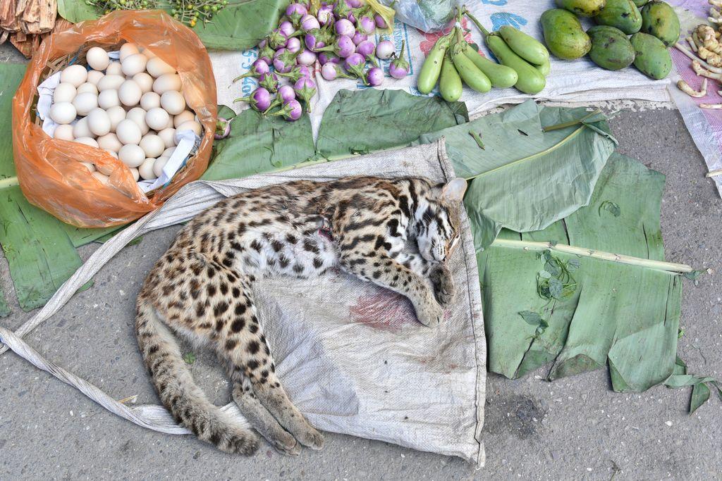 Pria Ini Nekat Makan Penis Harimau Mati Untuk Tingkatkan Libido