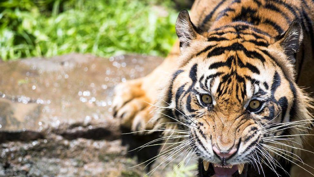 Ngeri! Sukarelawan di Florida Digigit Harimau Saat Memberi Makan