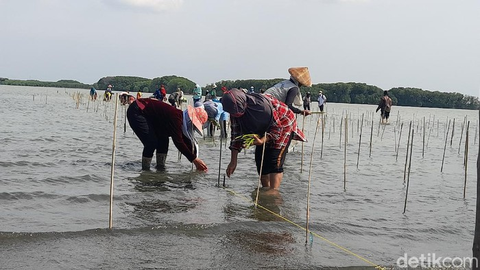 Penanaman mangrove di Desa Sawojajar Brebes, 8/10/2020
