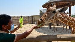 Taman Safari Juga Terapkan Protokol Konservasi untuk Lindungi Hewan