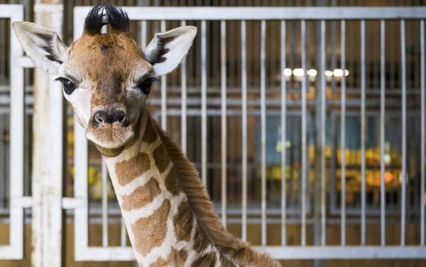 Bayi jerapah itu lahir pada 28 September di kebun binatang Amnéville, sebelah selatan Luksemburg.