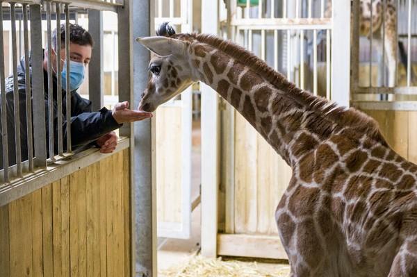 Bayi yang baru lahir secara resmi adalah Giraffa Camelopardalis Rothschildi, atau jerapah Rothshild, dinamai menurut nama pendiri Museum Sejarah Alam di Tring, Inggris Raya, Baron de Rothshild ke-2.
