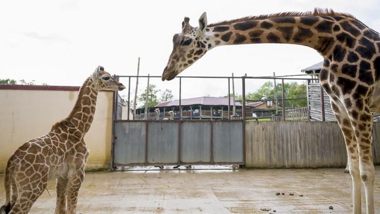 Jerapah Rothschild baru saja lahir. Dia menjadi jerapa yang lahir pertama dalam 30 tahun terakhir dengan dibantu entologis Thomas Grangeat di Kebun Binatang Amneville, selatan Prancis pada 28 September 2020. Jerapah itu betina dengan berat 57 kg dan tinggi 1,75 m (Photo by JEAN-CHRISTOPHE VERHAEGEN / AFP)