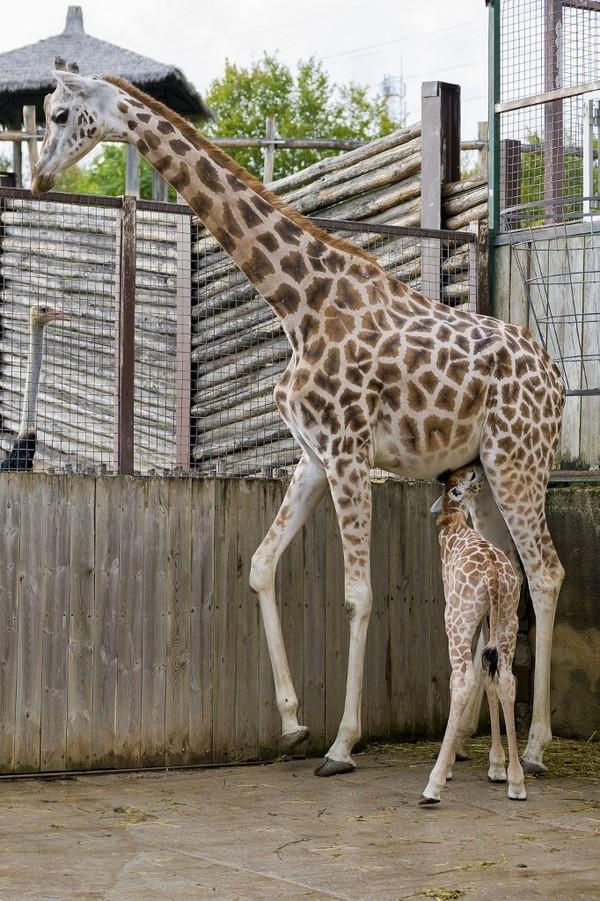 Di Prancis, kelahiran bayi jerapah dapat dihitung dengan jari satu tangan setiap tahun, kata Thomas Grangeat, seorang ahli etologi yang bekerja di kebun binatang.