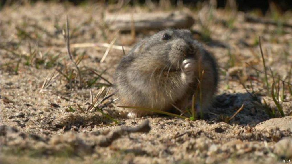 Apa yang Kita Pelajari dari Tikus Lucu Arktik ini?