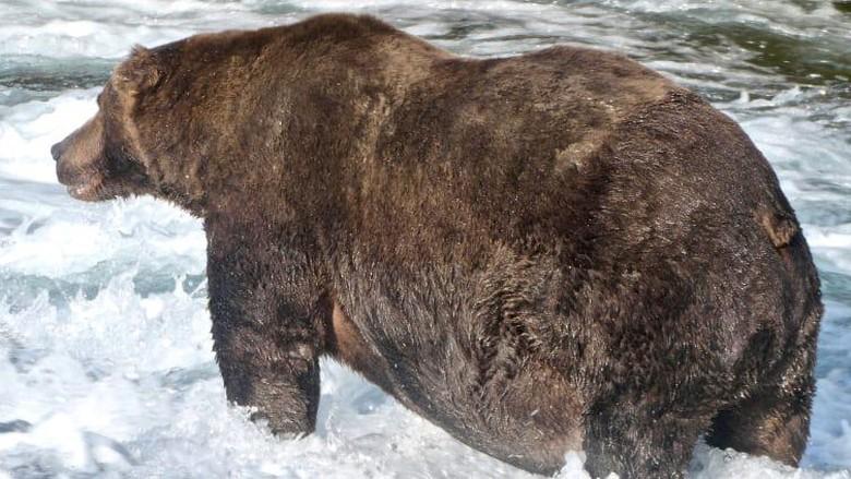 Beruang cokelat paling gemuk 2020