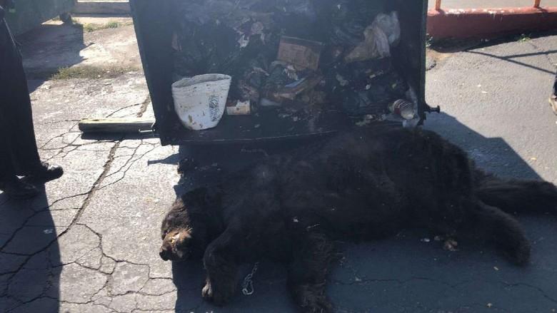 Beruang di tempat sampah