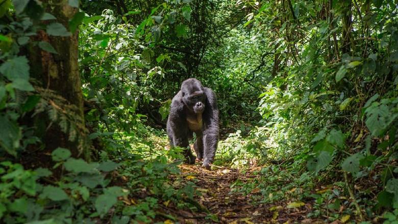 Gorila di Taman Nasional Uganda