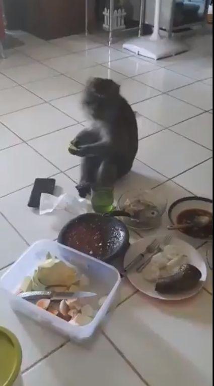 Santuy! Monyet Ini Masuk ke Dalam Rumah Untuk Ikut Ngerujak
