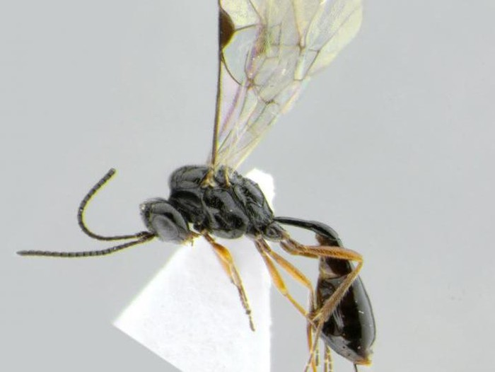 nama tawon parasit terinspirasi covid-19