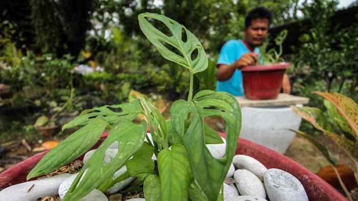 Pekerja merawat Monstera adansonii Variegata  atau Janda Bolong di areal tanaman hias Desa Blang Weu, Kuta Makmur, Aceh Utara, Aceh, Jumat (9/10/2020). Tanaman hias Janda bolong disebut juga The swiss cheese menjadi incaran pehobi tanaman hias, harganya pun meroket  Rp.3 juta-Rp.95 juta mengalahkan harga Anthurium atau Gelombang Cinta yang meroket pada tahun 2007 silam. ANTARA FOTO/Rahmad/hp.