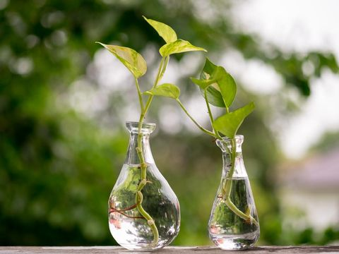 Golden Pothos or Devil's Ivy in the bottle of water.
