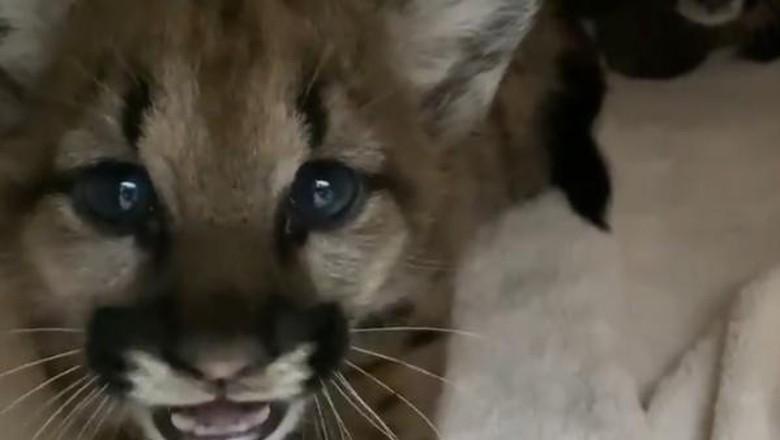Bayi singa gunung
