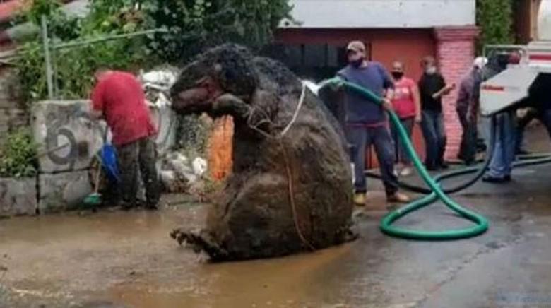 Tikus got raksasa ditemukan di Meksiko