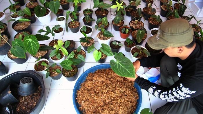 Pengusaha mengemas tanaman hias untuk ekspor di Kazaina Store Plant, Kampung Sukamanah RT 02/02, Desa Tamansari, Kabupaten Bogor, Jawa Barat, Rabu (14/10/2020). Ekspor berbagai tanaman hias di tengah pandemi COVID-19 mengalami peningkatan 80 persen dengan jumlah sebanyak 250 pot tanaman setiap bulannya untuk pesanan ke sejumlah negara seperti Perancis, Hongkong, Amerika Serikat, Kanada, Filipina dan Thailand. ANTARA FOTO/Arif Firmansyah/aww.