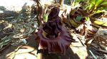 Ini Potret Bunga Bangkai yang Gegerkan Warga Jepara